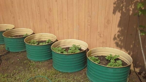 Выращивание картофеля из семян в домашних условиях: способы, сроки и схема посадки, отзывы