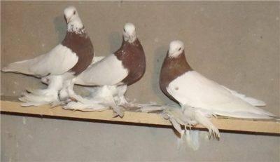Узбекские бойные голуби фото породы описание