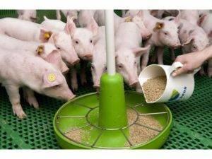 Причины дизентерии у свиней и методы лечения