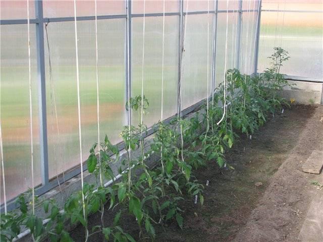 Как вырастить помидоры в теплице из поликарбоната: 15 этапов