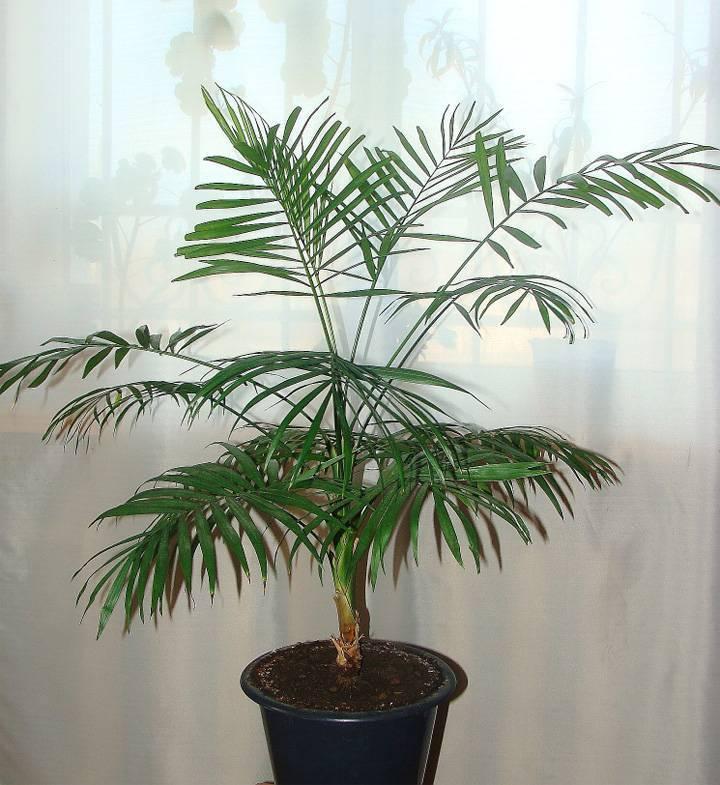Пальма хамедорея: уход в домашних условиях и посадка