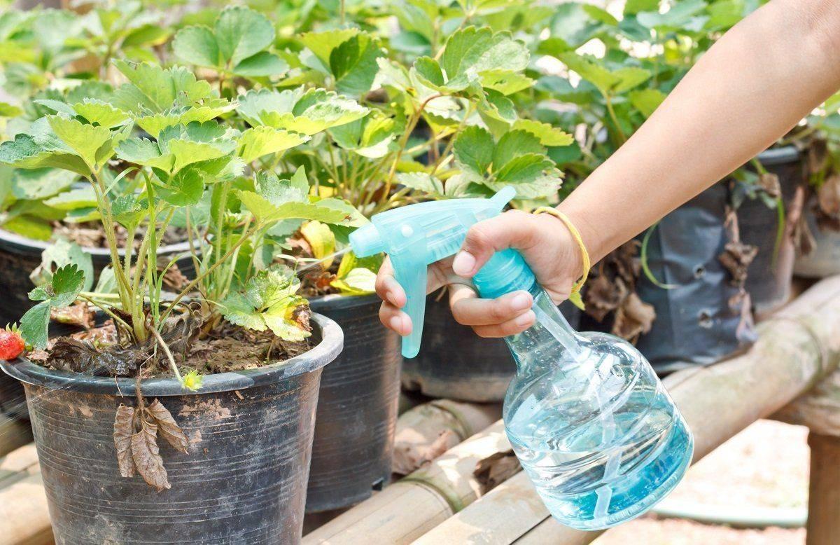 Чем удобрять клубнику весной для получения хорошего урожая