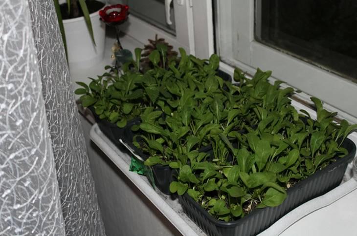 Как выращивать руколу в домашних условиях зимой?