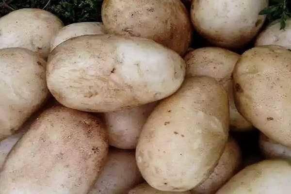 Картофель сорт лада f1 — характеристики нового гибрида отечественной селекции