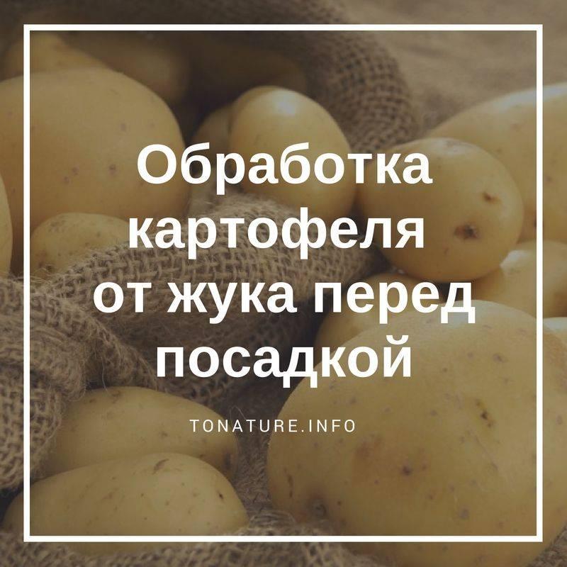 Чем обработать клубни картофеля от колорадского жука?