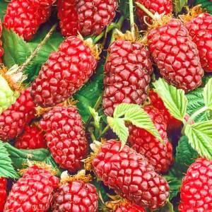 Ежемалина: уход и выращивание, преимущества сорта
