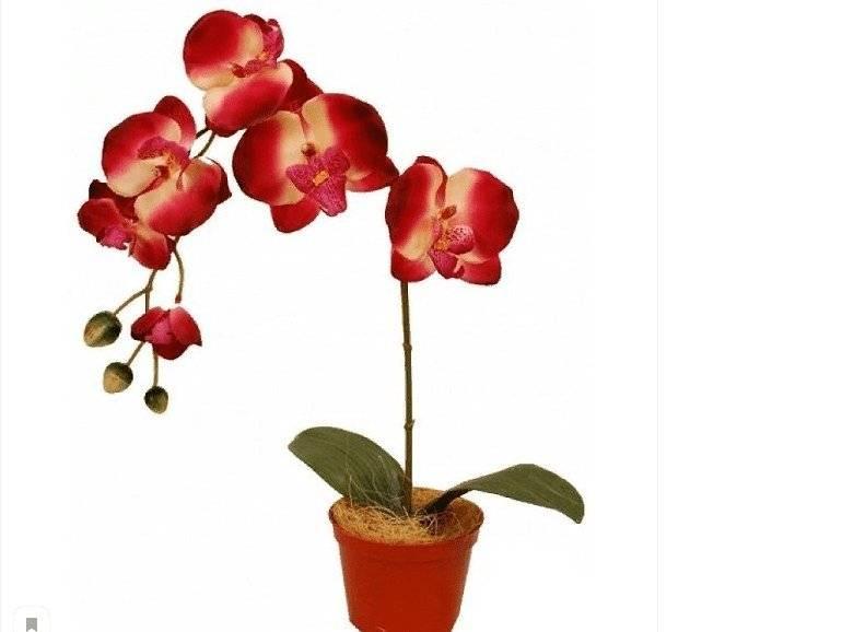 Уход за орхидеей фаленопсис мини в домашних условиях: правила содержания карликовых марок цветов после магазина и их фото, а также основные ошибки при выращивании selo.guru — интернет портал о сельском хозяйстве
