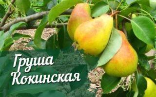 ᐉ груша кокинская - описание сорта, посадка и уход, видео - my-na-dache.ru