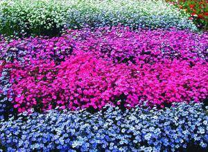 Вискария: выращивание из семян в домашних условиях