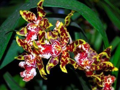 Орхидея онцидиум: описание сорта и уход в домашних условиях, а также фото вида oncidium твинкле и желтый и их пересадка