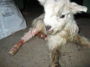 4 причины почему у козы молоко с кровью и как их лечить