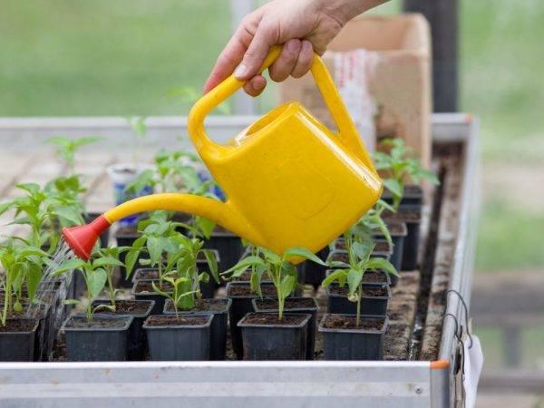 Как вырастить рассаду перца: правила ухода и выращивания в домашних условиях