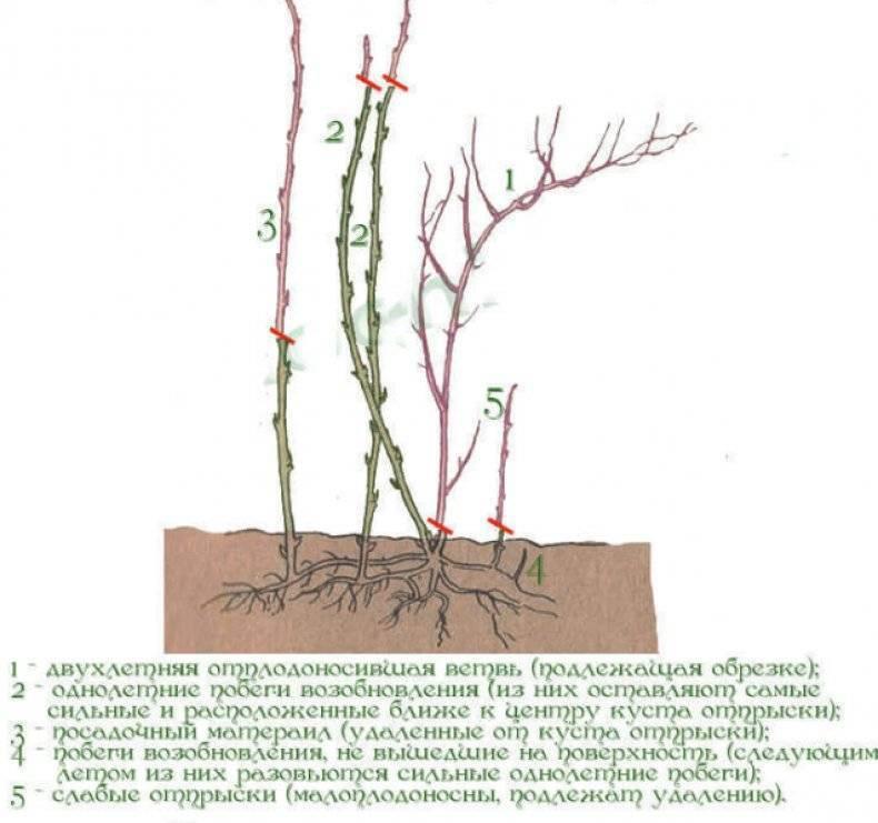 Обрезка малины осенью: схемы, сроки, правила, пошаговая инструкция