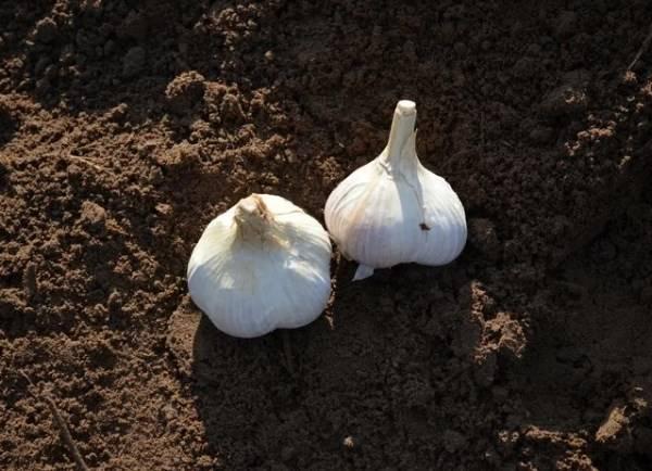 Как правильно подготовить почву для посадки чеснока осенью