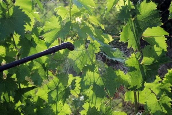 Виноград ланселот: описание сорта, фото, видео, отзывы