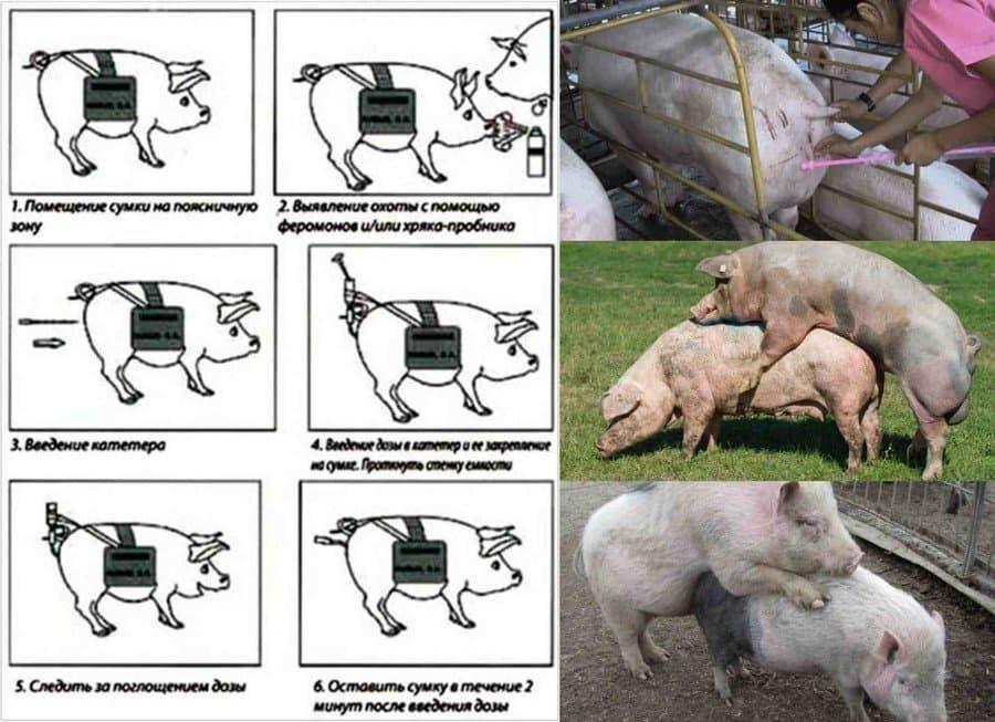Искусственное осеменение свиней в домашних условиях искусственное осеменение свиней в домашних условиях