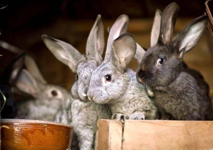 Инструкция по применению дитрима у животных. рассчитайте оптимальную дозу препарата у свиней, крс, телят, поросят, кошек и собак. изучите широту антибактериального эффекта дитрима в ветеринарной медиц