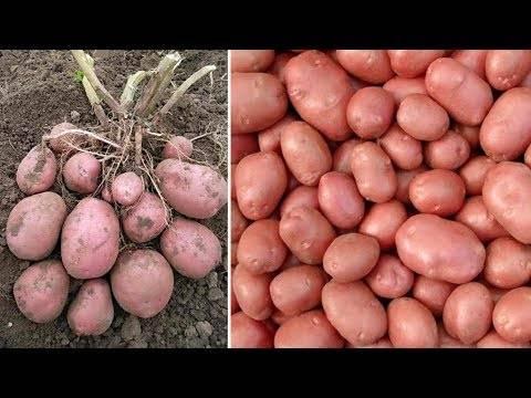 Описание сорта картофеля беллароза, его выращивание и уход