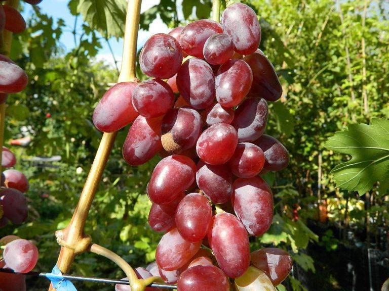 """Виноград """"байконур"""": описание сорта, отзывы + фото и видео"""