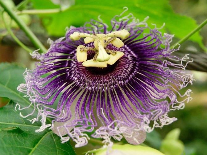 Пассифлора домашняя или страстоцвет – лиана со съедобными плодами: описание, виды, выращивание, посадка и уход, размножение (80+ фото & видео) +отзывы