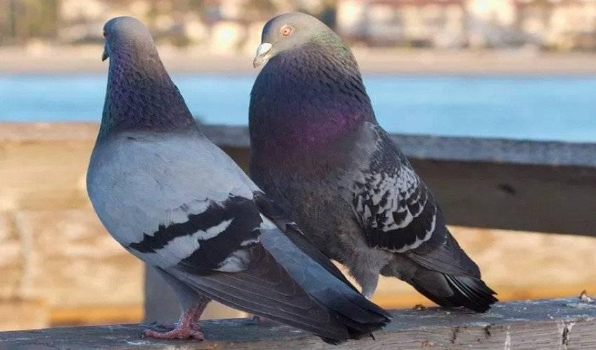 Как оплодотворяются голуби: естественный и принудительный способ
