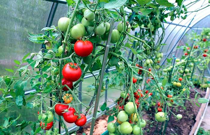 Температура в теплице для помидор: это полезно знать