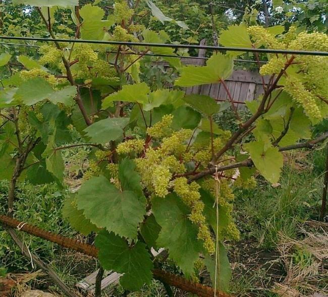Виноград кишмиш «запорожский»: описание сорта, фото