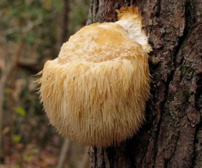 Ежовик гриб — фото и описание, чем отличается от ядовитых грибов. | cельхозпортал