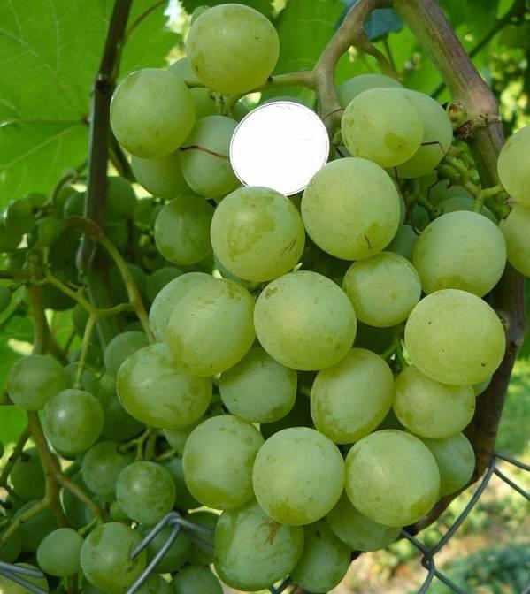 Виноград белое чудо описание сорта фото отзывы - скороспел
