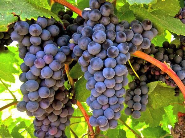 Виноград оригинал: описание сорта, его разновидности - черный, розовый и белый, фото selo.guru — интернет портал о сельском хозяйстве