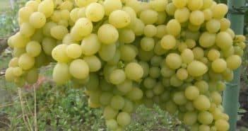Чем полезен виноград красных, черных и зеленых сортов, состав ягод