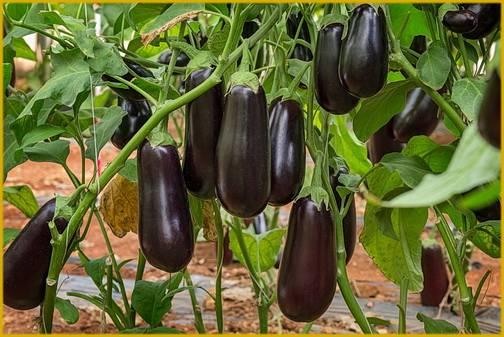 Посадка баклажан рассадой в открытый грунт: когда и как правильно сажать овощ