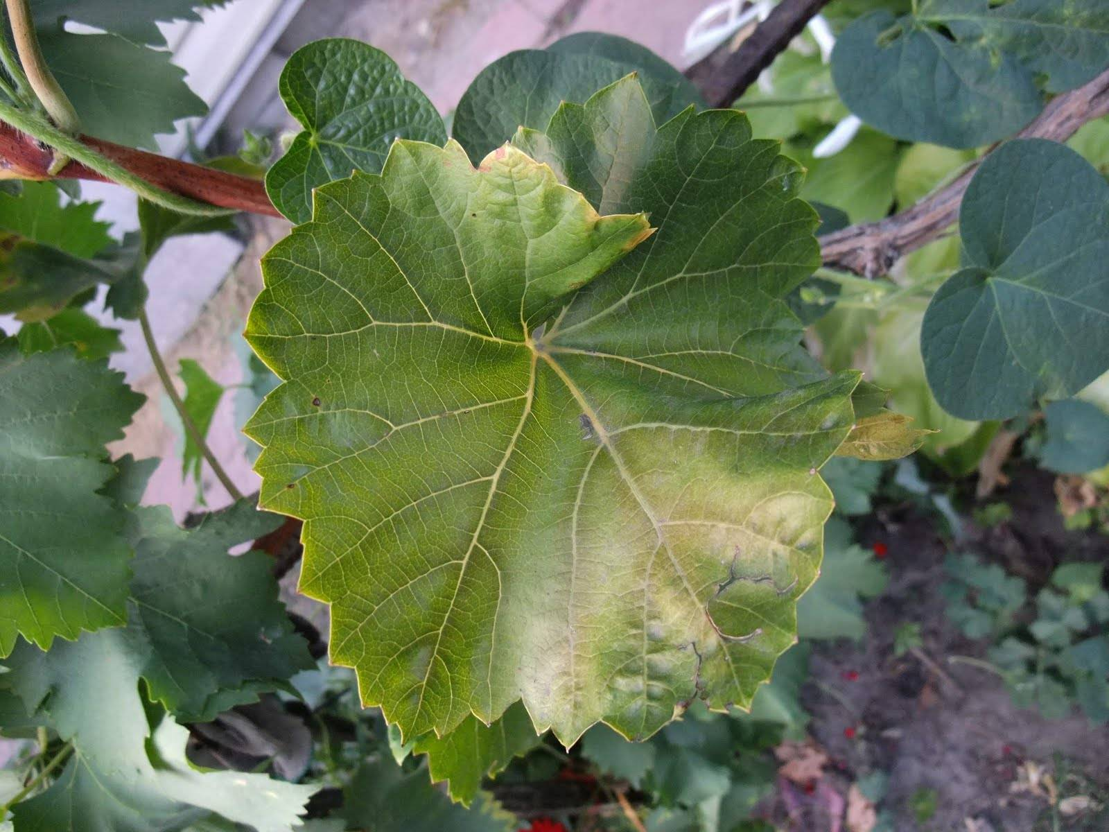 Подробные советы по уходу за виноградом весной. распространенные ошибки