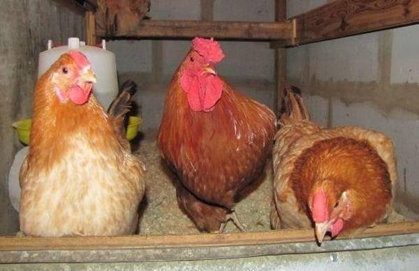 Полтавская глинистая порода кур: характеристика, яйценоскость, фото
