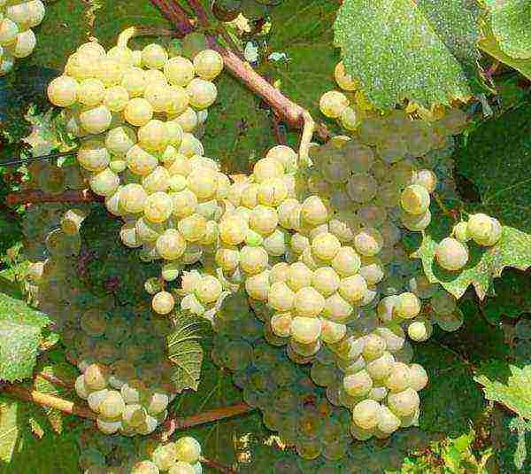 Виноград кишмиш: описание сорта, характеристики, посадка и уход