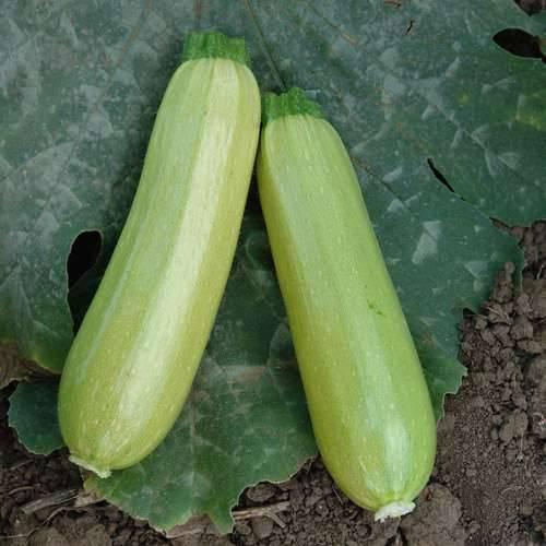 Кабачок искандер f1: описание сорта, обработка и проращивание семян, уход за рассадой, сроки и схема посадки всходов в грунт, отзывы