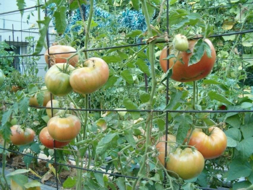 Как правильно подвязывать помидоры в теплице из поликарбоната: видео - способы подвязки помидор