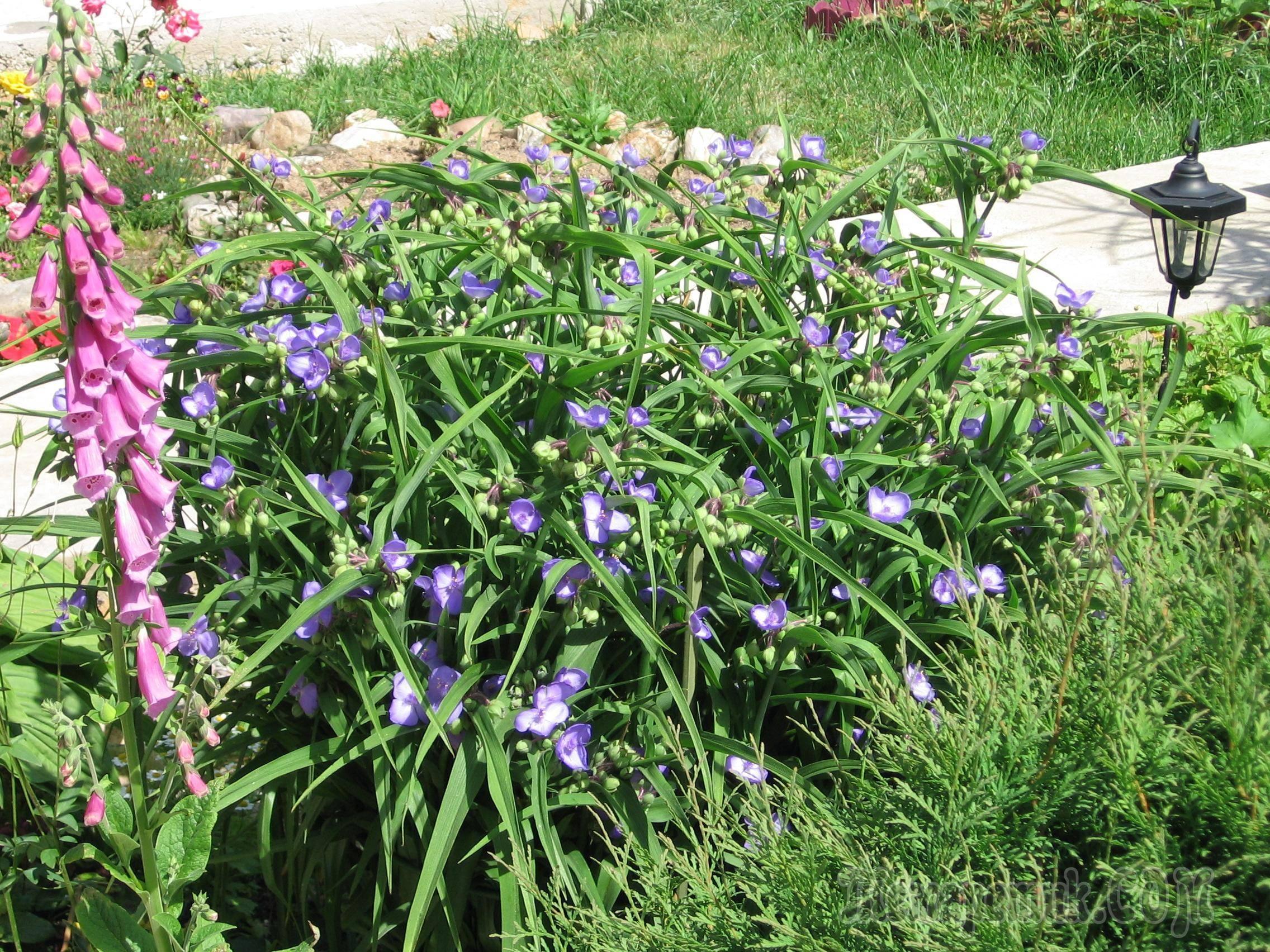 Традесканция садовая: посадка и уход + фото