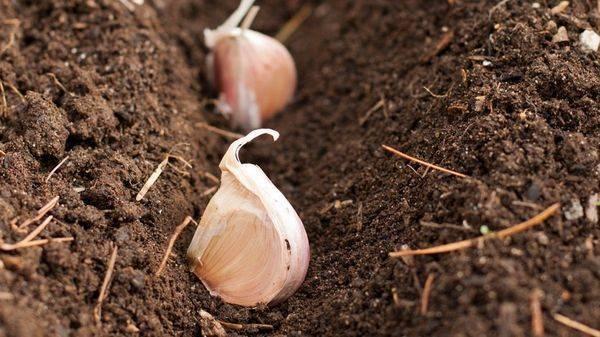 Как посадить и вырастить чеснок