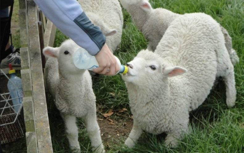 Нагул и откорм овец
