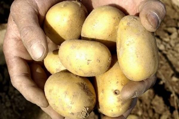 Оригинальный картофель сорта киви: происхождение и правила выращивания – дачные дела