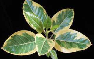 Особенности размножения из семян фикуса бенгальского, уход в домашних условиях (фото)