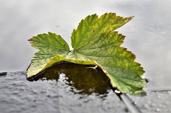 Желтеют листья на черной смородине: что делать, почему
