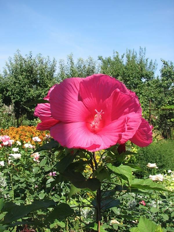 Гибискус болотный: посадка и уход в открытом грунте, выращивание в домашних условиях, обрезка, подкормка, размножение черенками и семенами, а также фото цветка русский фермер