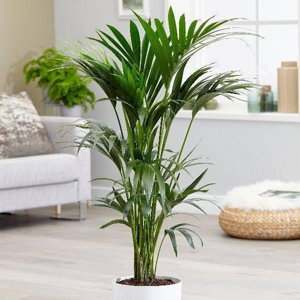 Названия комнатных пальм: виды, фотографии и тонкости ухода за декоративными цветами