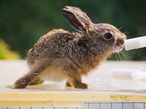 Лекарства для кроликов: ампролиум, сурфагон, байтрил и другие