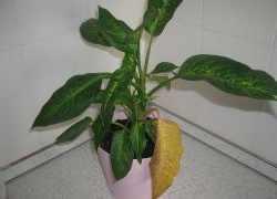 Диффенбахия: почему желтеют листья и что делать, почему сохнут листья