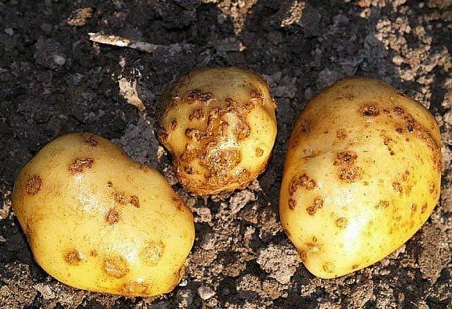 Рак картофеля: что это такое, как выглядит на фото пораженное растение, есть ли опасность для человека, а также подробное описание болезни и лечения
