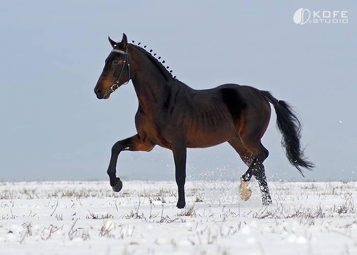 Порода лошади орловский рысак: фото и видео, описание, история и характеристика