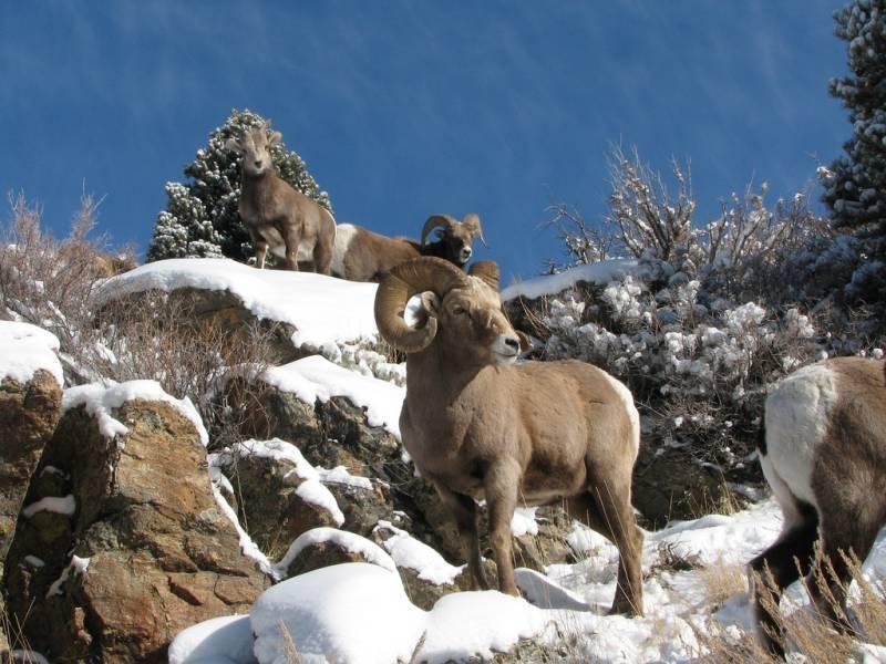 Дикий баран: среда обитания и особенности рациона муфлона, горного и азиатского барана